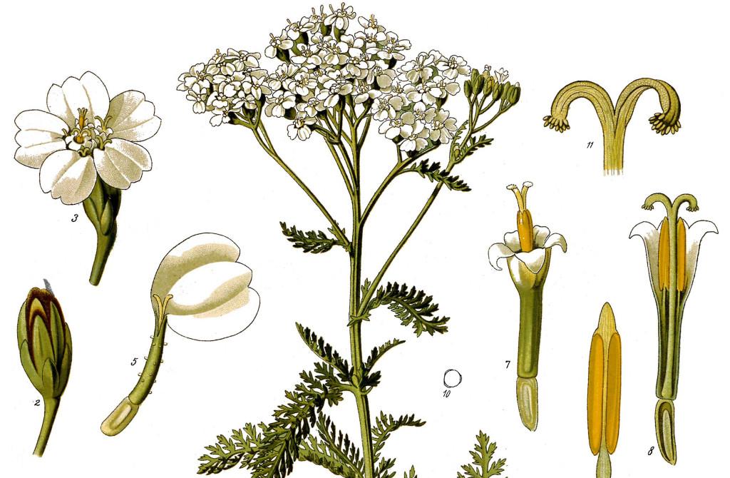 Achillea_millefolium_1